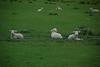 Lambs watch us going to Kauri Museum
