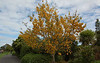 ABG: Kowhai tree