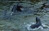 Playful fur seals