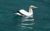 We saw gannets