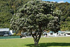 Pohutakawa trees just coming into bloom in park alongside Whakatane River