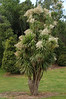 Flowering Cabbage Tree near Te Puke