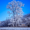 Gum Tree covered in Hoar Frost