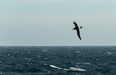Albatros.