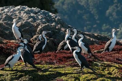 Colony of Shags (Cormorant family).