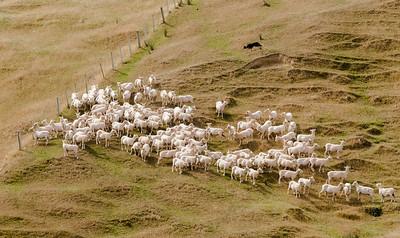 Herding freshly shorn sheep, Akaroa.