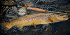 Leland rods love Brown trout