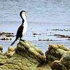 Yapping seabird.