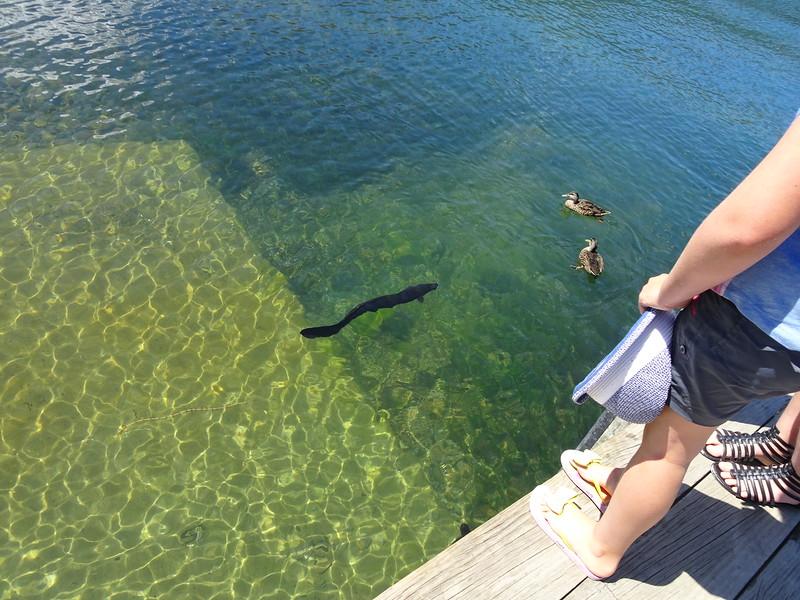 Longfin eel in Lake Rotoiti
