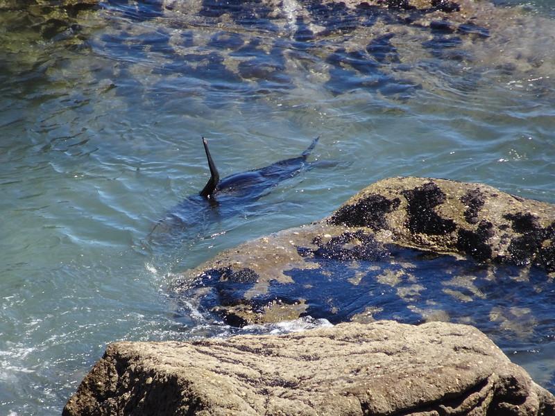 Swimming fur seal, Tauranga Bay