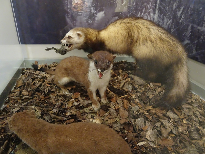 Imported stoats (weasels) eat kiwis and their eggs.