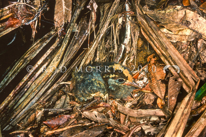 11901-00509 Kagu (Acionyx jubatus) young chick, hiding in forest litter near nest, Riviere Bleue, New Caledonia