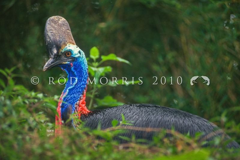 17001-00519 Southern double-wattled cassowary (Casuarius casuarius) Large female resting in lowland forest in Irian Jaya *