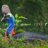 17001-00519 Southern cassowary (Casuarius casuarius) Large female resting in lowland forest in Irian Jaya