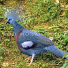 21001-70001 Victoria crowned pigeon (Goura victoria) male showing characteristic white-tipped crest, and maroon breast. Sepik, New Guinea