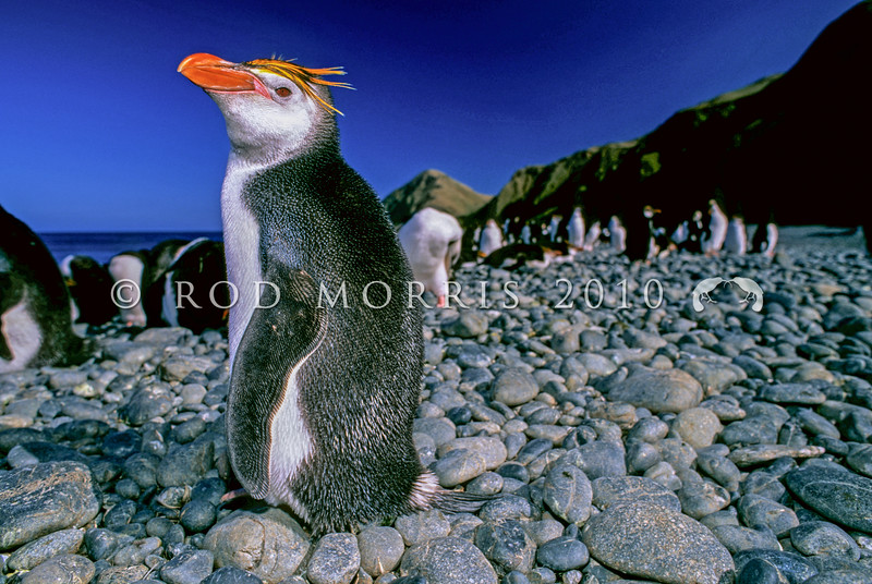 11001-29202  Royal penguin (Eudyptes schlegeli) breeding birds resting ashore on Macquarie Island