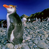 11001-29202  Royal penguin (Eudyptes schlegeli) breeding birds resting ashore on Macquarie Island