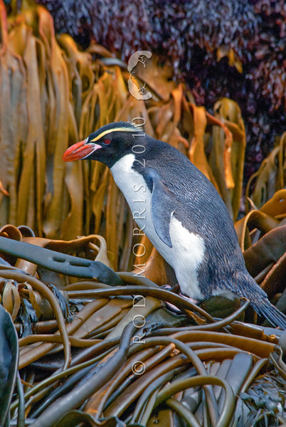 DSC_0208 Snares crested penguin (Eudyptes robustus) view of male ashore in kelp, Snares Island