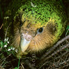 11001-70716  Kakapo (Strigops habroptilus) portrait of 'Sinbad', son of 'Richard Henry' who was the last surviving Fiordland kakapo. Sinbad is seen here on Maud Island. August 1997 *