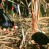 11001-50816  Pukeko (Porphyrio melanotus melanotus) female settling on eggs with 'nest-helpers' nearby