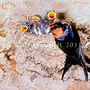 11001-78411 Welcome swallow (Hirundo neoxena neoxena) adult at nest with chicks. Now known throughout New Zealand, breeding in porches and under bridges, the welcome swallow was known here only as a vagrant before the 1950's *