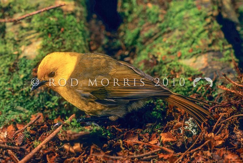 11001-80415 Yellowhead, or mohua (Mohoua ochrocephala) male on beech trunk, Catlins forest.