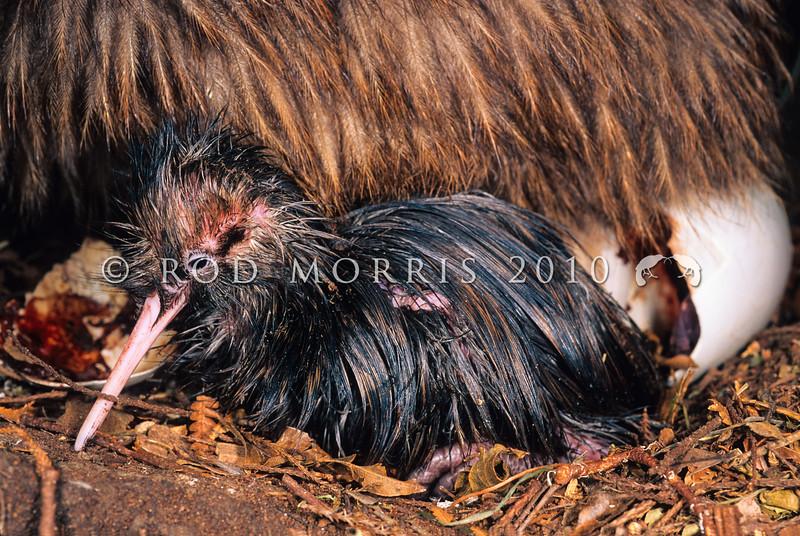 11001-01417  Eastern brown kiwi (Apteryx mantelli) close-up of freshly hatched chick. Lake Waikaremoana