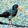 11001-53011  Variable oystercatcher (Haematopus unicolor) adult on shoreline, D'Urville Island *
