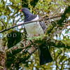 11001-69702 Parea or Chatham Island pigeon (Hemiphaga chathamensis) male in Tuku Reserve. Larger and heavier than NZ pigeon, with greys and purples in the plumage rather than the greens, and browns of the more 'rustic' kereru. Unlike kereru this species will court and sometimes even nest on the ground. Less than 600 birds remain *