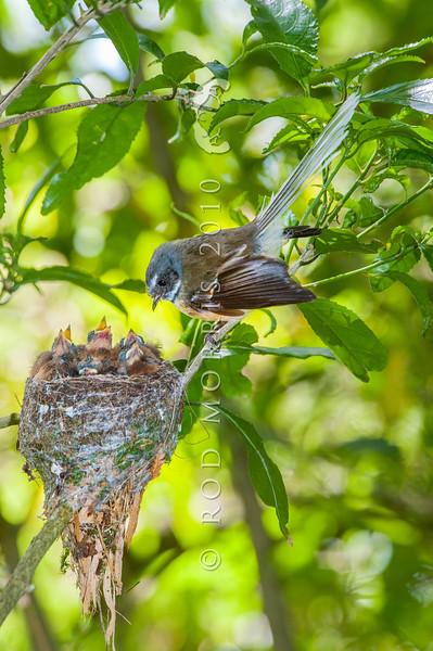 SC_7896 South Island fantail (Rhipidura fuliginosa fuliginosa) female in mahoe forest at nest with five chicks. The Cove, Otago Peninsula *