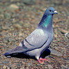 11001-69901 Rock pigeon (Columba livia livia) feral in most cities. Widespread in rural areas with low rainfall, such as Hawkes Bay, Marlborough, Canterbury and Otago