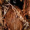 DSC_2452  Western brown kiwi (Apteryx mantelli) male entering burrow beneath brown tree fern *
