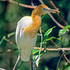 11001-38804 Eastern cattle egret (Ardea ibis coromanda) widespread throughout South-east Asia. This species began reaching Australia around 1948, and from there has been an annual migrant to NZ since about 1963. Recent flock sizes however have declined again