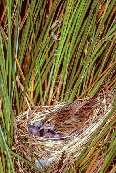 11001-79801 South Island fernbird (Bowdleria punctata punctata) female at nest with chicks