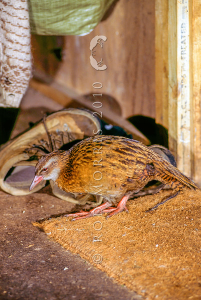 11001-48813 Western weka (Gallirallus australis australis) foraging inside hut. Newton Creek, Westland
