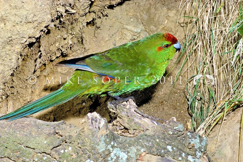 11001-73624 Kermadec parakeet (Cyanoramphus novaezelandiae cyanurus) female on a clay bank on Meyer Island in the Kermadecs *