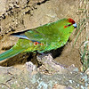 11001-73624 Kermadec parakeet (Cyanoramphus novaezelandiae cyanurus) female on a clay bank on Meyer Island in the Kermadecs