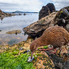 DSC_3347 Stewart Island weka (Gallirallus australis scotti) feeding on blue mussels on beach. Paterson Inlet, Stewart Island *