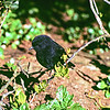 11001-82107 Black robin, or kakaruia (Petroica traversi) the 'cliff' male was often the first robin heard on the climb up Little Mangere - usually just below the knotted rope. After five birds were shifted in the 1976 rescue, he took over the entire western end of Little Mangere *