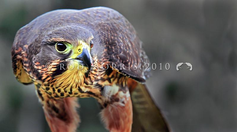 DSC_3588 New Zealand falcon (Falco novaeseelandiae) adult female 'bush' falcon from the North Island, Rotorua