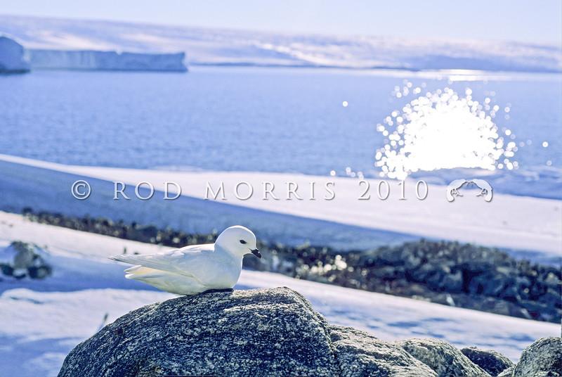 11001-17301  Greater snow petrel (Pagodroma nivea major) on rock outcrop near coast. East Antarctica