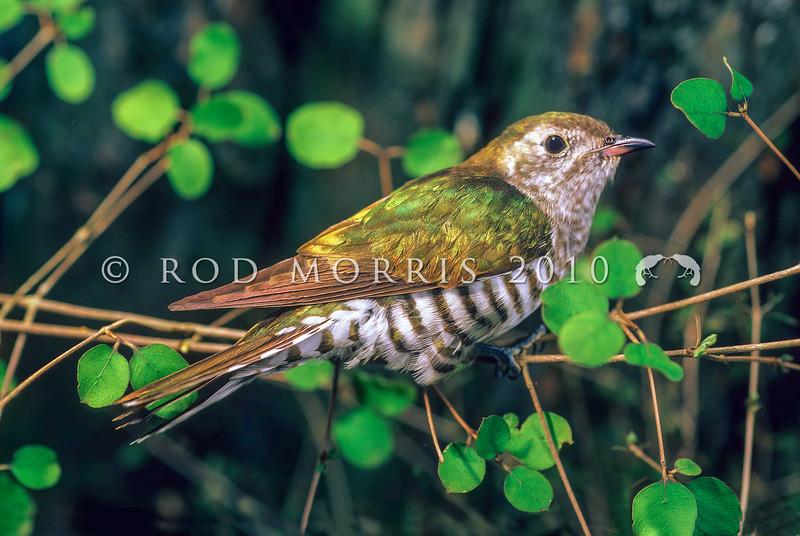 11001-75602 Shining bronze-cuckoo (Chrysococcyx lucidus lucidus) fledgling, soon after leaving a grey warbler nest on Otago Peninsula