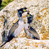 11001-36603 Pitt Island shag (Phalacrocorax featherstoni) pair in breeding colours on cliff ledge on Little Mangere Island *