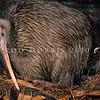 11001-02116  Eastern brown kiwi (Apteryx mantelli) pair roosting in burrow