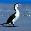 11001-33705 Pied shag (Phalacrocorax varius varius) adult standing on beach