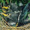 11001-84505 Tui (Prosthemadera novaeseelandiae) fledglings in nest. Otatara *