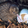 11001-02216  Okarito brown kiwi, or rowi (Apteryx rowi) recently hatched chick with characteristic pale blue egg shell in burrow *