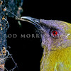 11001-83824  Bellbird (Anthornis melanura melanura) male feeding on honeydew