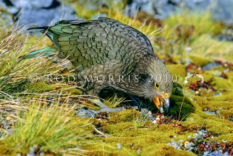 11001-72407 Kea or mountain parrot (Nestor notabilis) young bird feeding on snowberries (Gaultheria). Miller Peak, Fiordland *