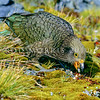 11001-72407 Kea or mountain parrot (Nestor notabilis) young bird feeding on snowberries (Gaultheria). Fiordland